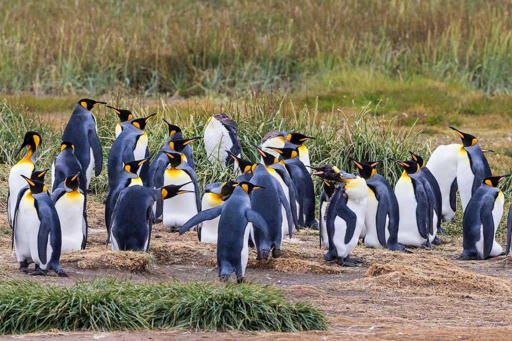 Pingüinos rey, Tierra del Fuego, Chile
