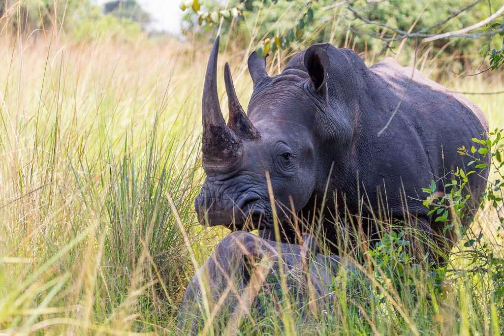 Rinoceronte y cría en el Ziwa Rhino Sanctuary (Uganda)