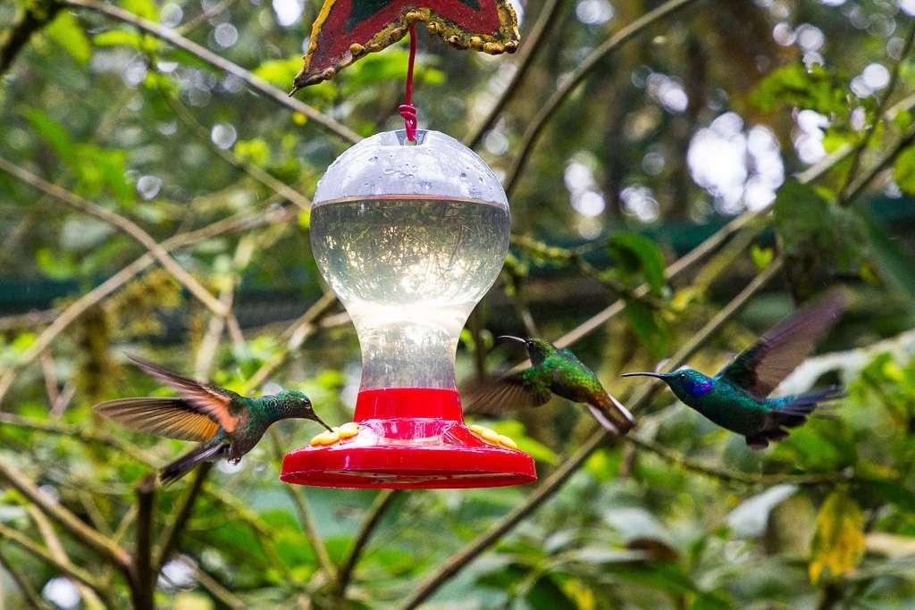 Tres colibrís en el jardín de colibrís, Monteverde, Costa Rica