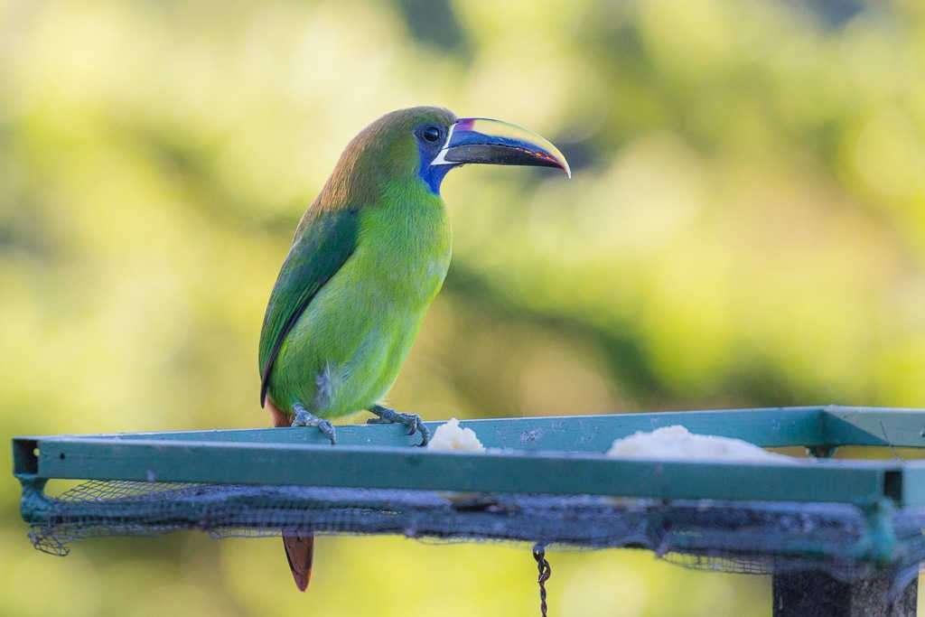 Tucán esmeralda en Monteverde, Costa Rica