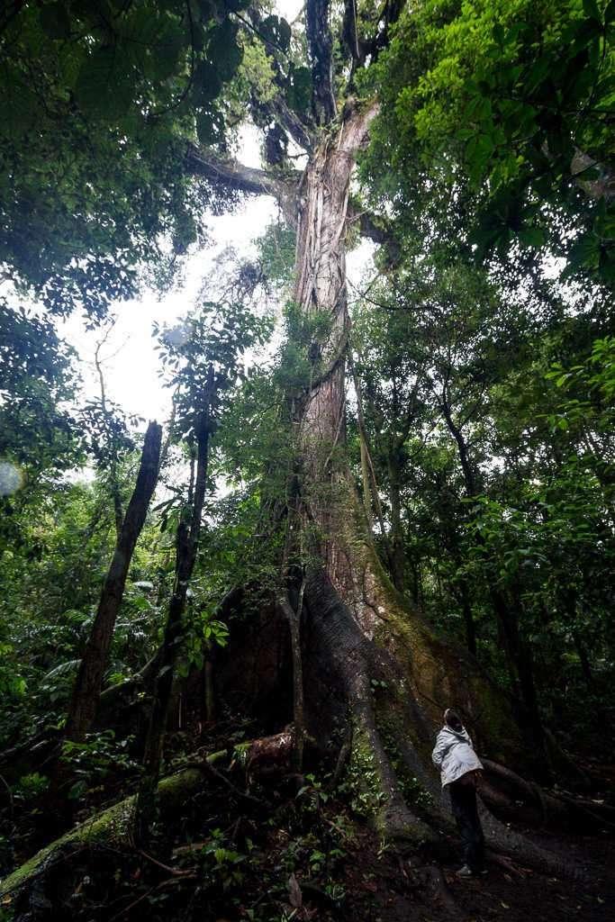 El Ceibo en el parque nacional Volcán Arenal, Costa Rica
