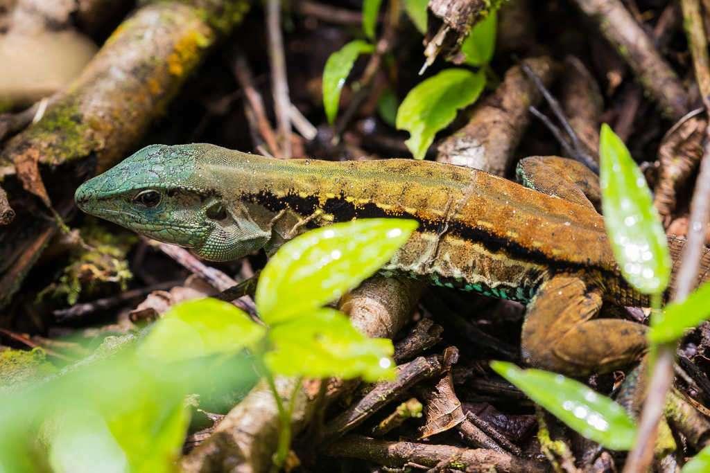 Lagarto con la cabeza verde en el parque nacional Volcán Arenal, Costa Rica