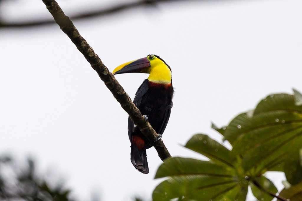 Tucán pecho amarillo en el parque nacional Volcán Arenal, Costa Rica