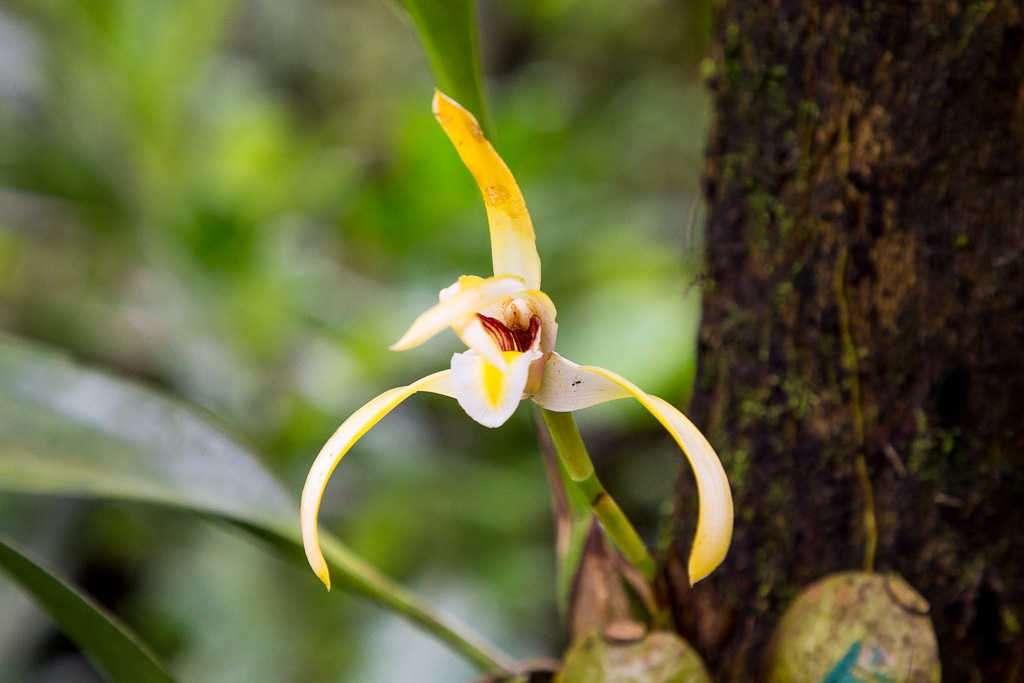 Orquídea amarilla en la catarata La Fortuna, Arenal, Costa Rica