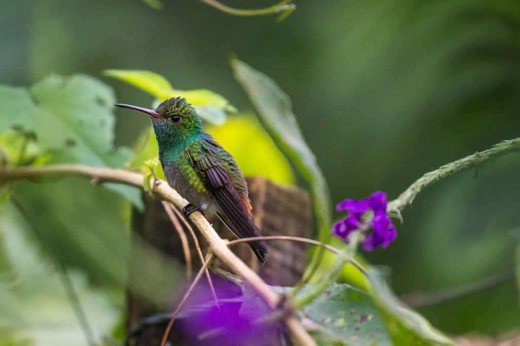 Colibrí con flores violetas, Arenal Oasis Eco Lodge & Wildlife Refuge, Costa Rica