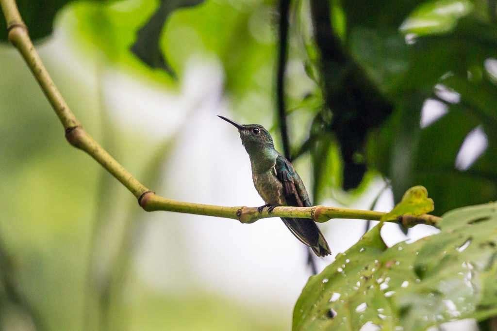 Colibrí verde cerca de Arenal Oasis Eco Lodge & Wildlife Refuge, Costa Rica