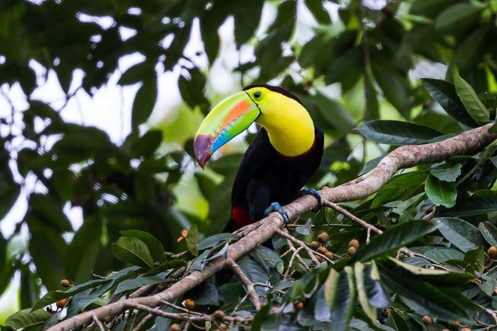 Tucán pico iris cerca de Arenal Oasis Eco Lodge & Wildlife Refuge, Costa Rica