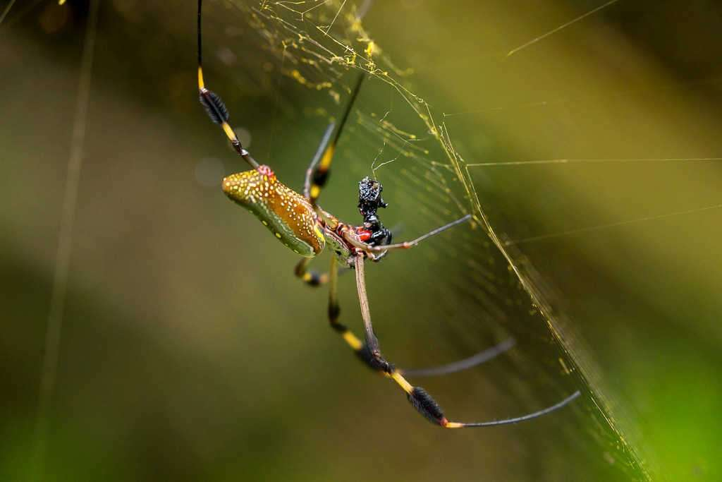Araña en el sendero Los Cativos, parque nacional Cahuita, Costa Rica
