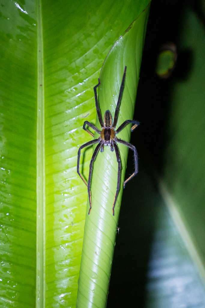 Araña de noche en Tortuguero, Costa Rica