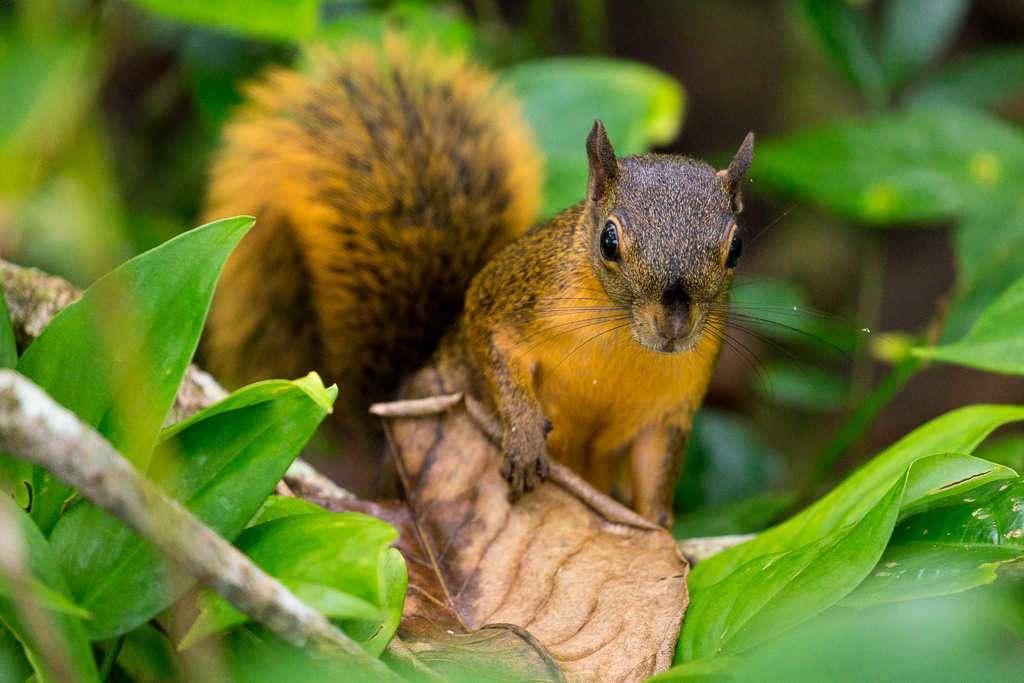 Ardilla en el parque nacional Cahuita, Costa Rica