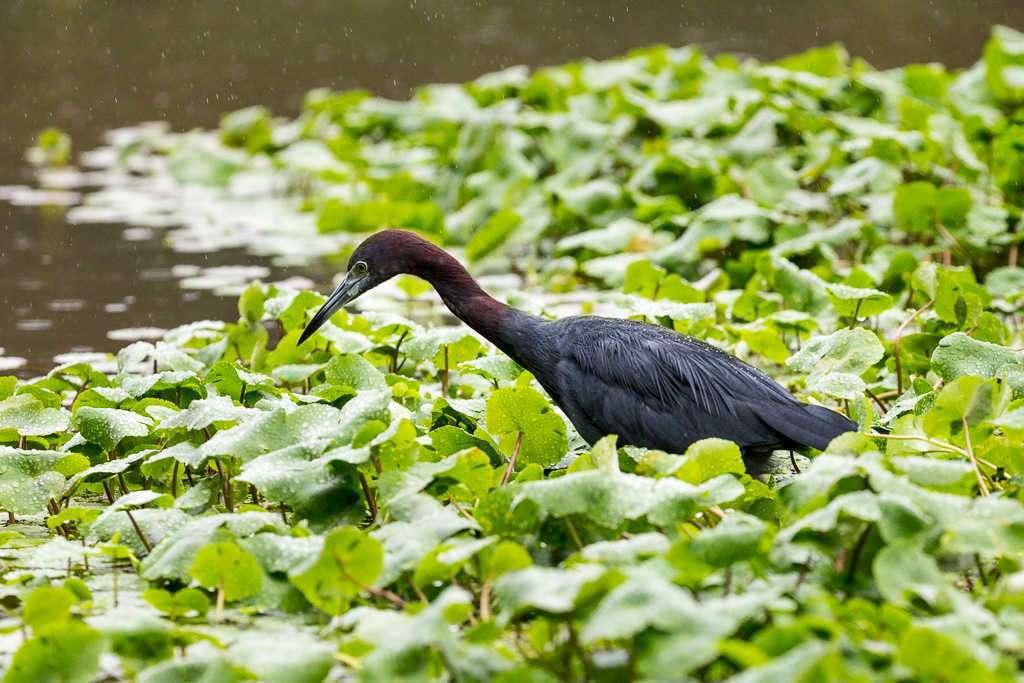 Garceta azul en el parque nacional Tortuguero, Costa Rica