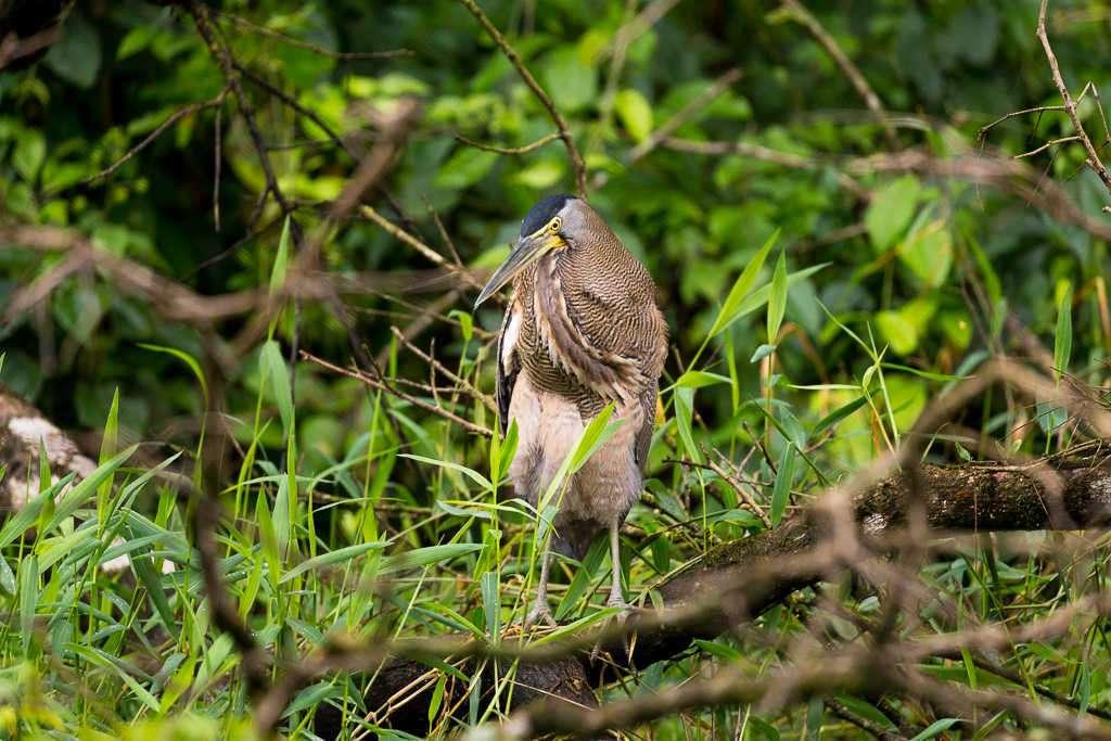 Garza tigre cuellinuda en el parque nacional Tortuguero, Costa Rica