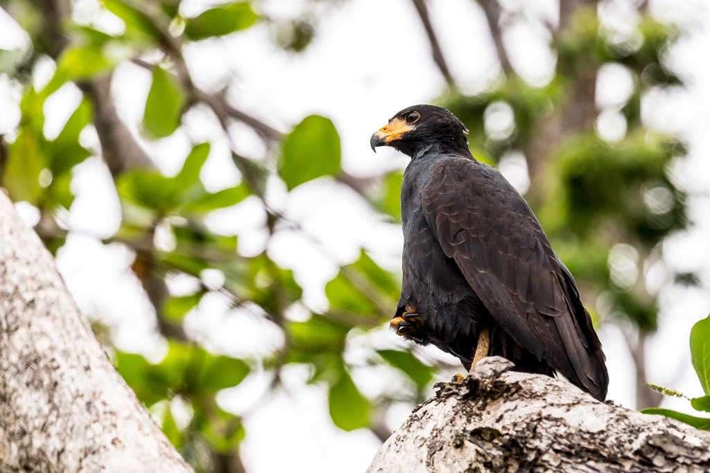 Gavilán cangrejero en el sendero Los Cativos, parque nacional Cahuita, Costa Rica