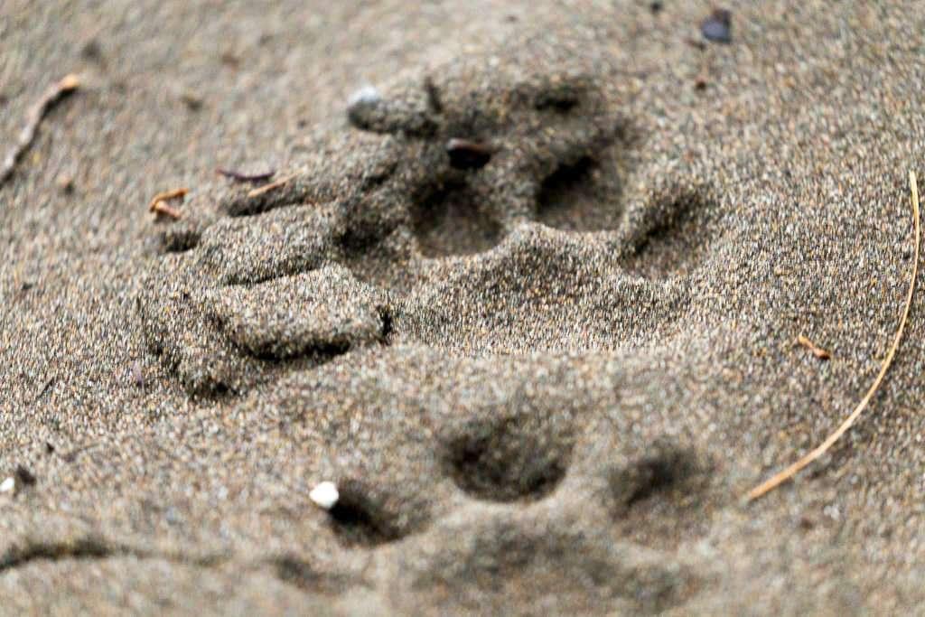 Huellas de jaguar en el parque nacional Tortuguero, Costa Rica