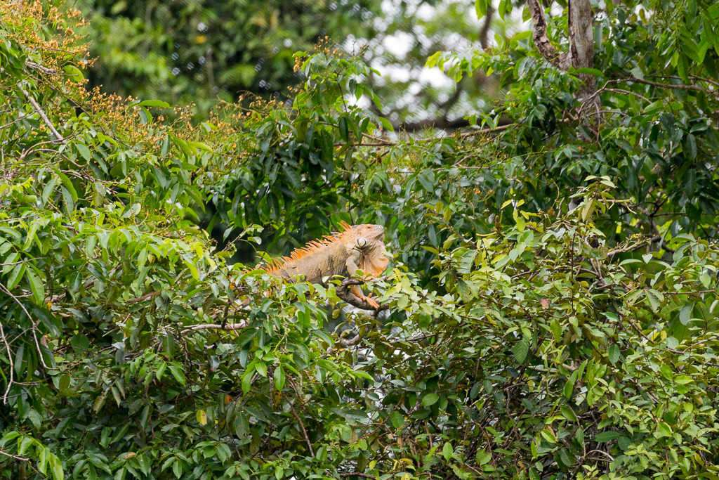 Iguana en el parque nacional Tortuguero, Costa Rica