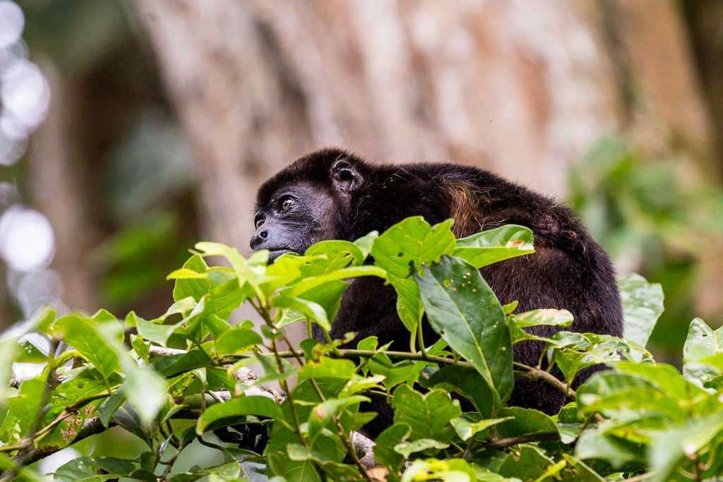 Mono aullador en el sendero Los Cativos, parque nacional Cahuita, Costa Rica