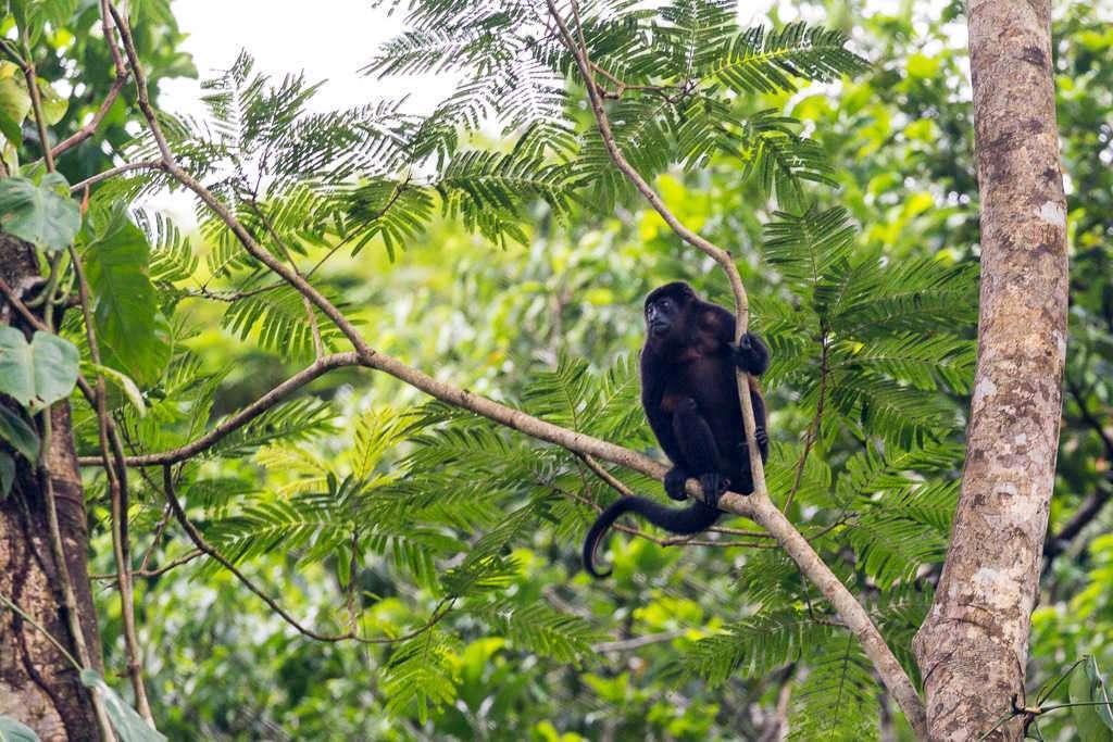 Mono aullador cerca del hotel de Tortuguero, Costa Rica