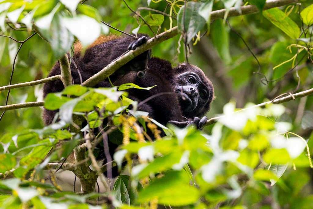 Mono aullador mirándonos en el sendero Los Cativos, parque nacional Cahuita, Costa Rica