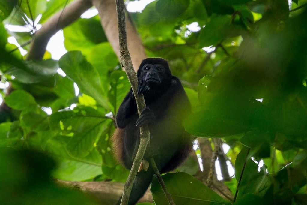 Mono aullador en playa Blanca, parque nacional Cahuita, Costa Rica