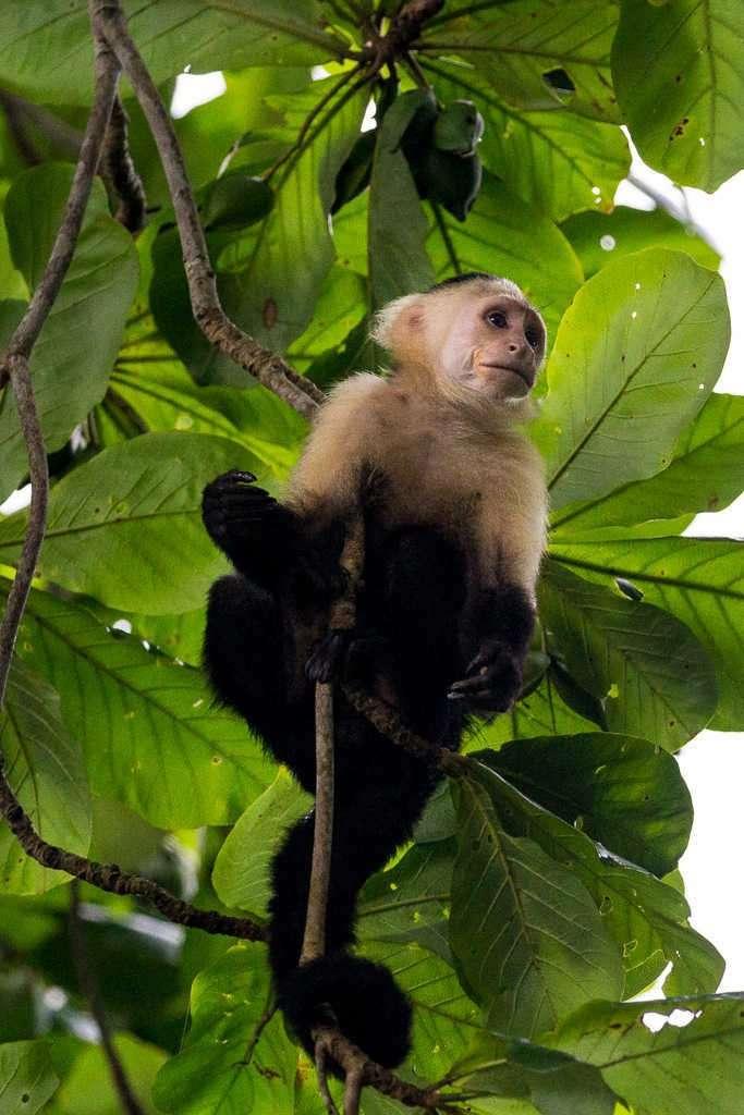 Mono carablanca en el parque nacional Cahuita, Costa Rica