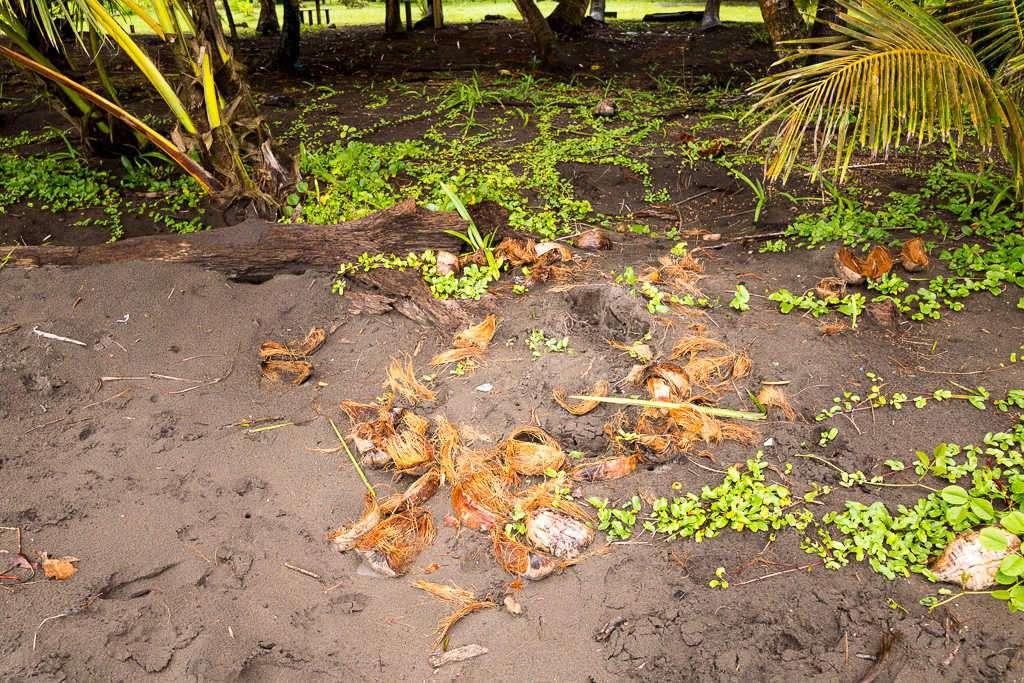 Nido de tortuga en la playa en el parque nacional Tortuguero, Costa Rica