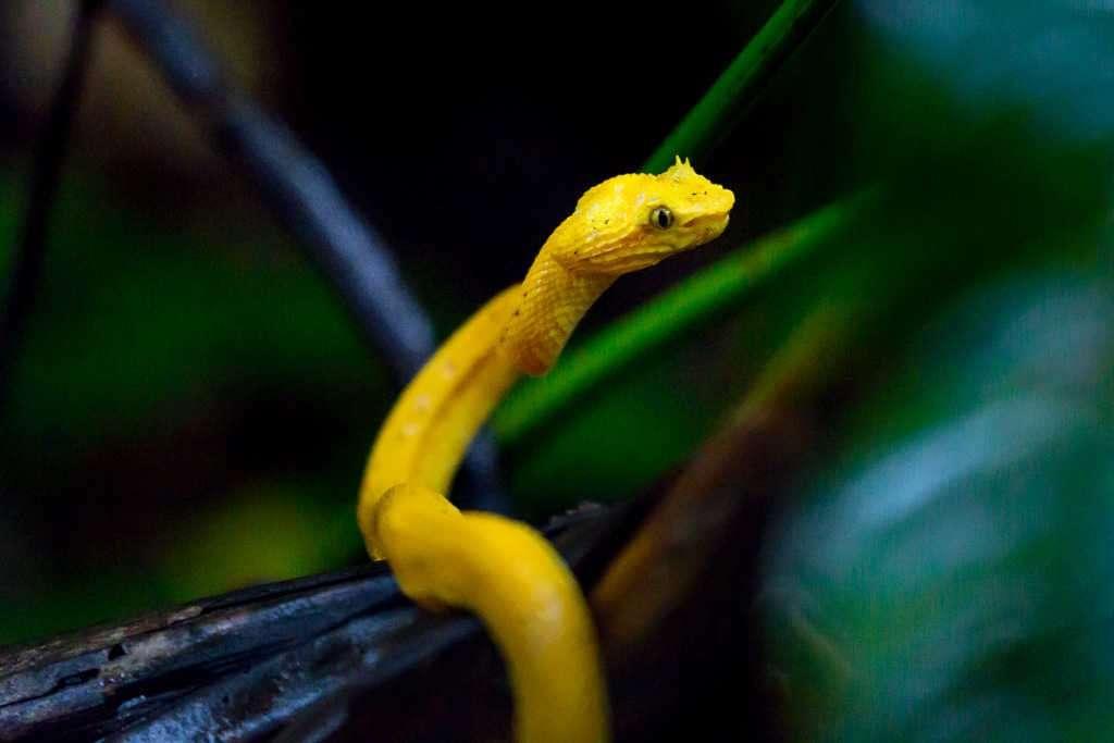 Serpiente oropel reptando en el parque nacional Tortuguero, Costa Rica
