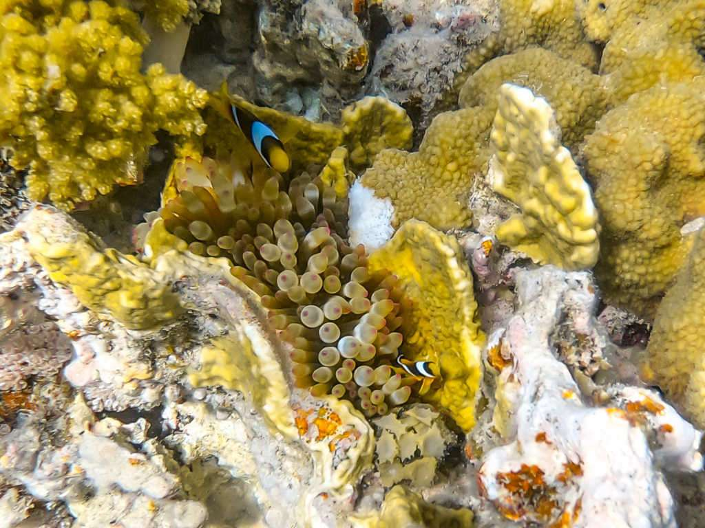 Peces payaso en una anémona en el Japanese Garden en el mar Rojo, Aqaba, Jordania