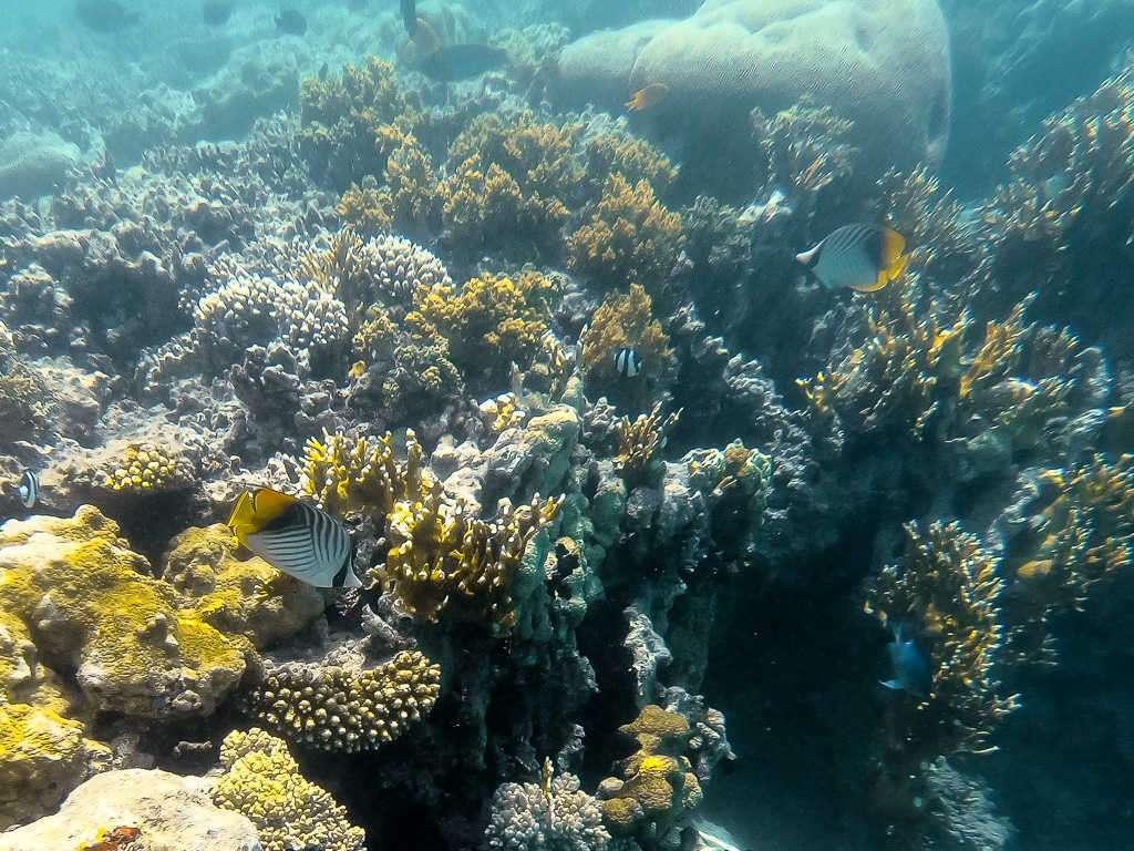 Peces y corales en el Japanese Garden en el mar Rojo, Aqaba, Jordania