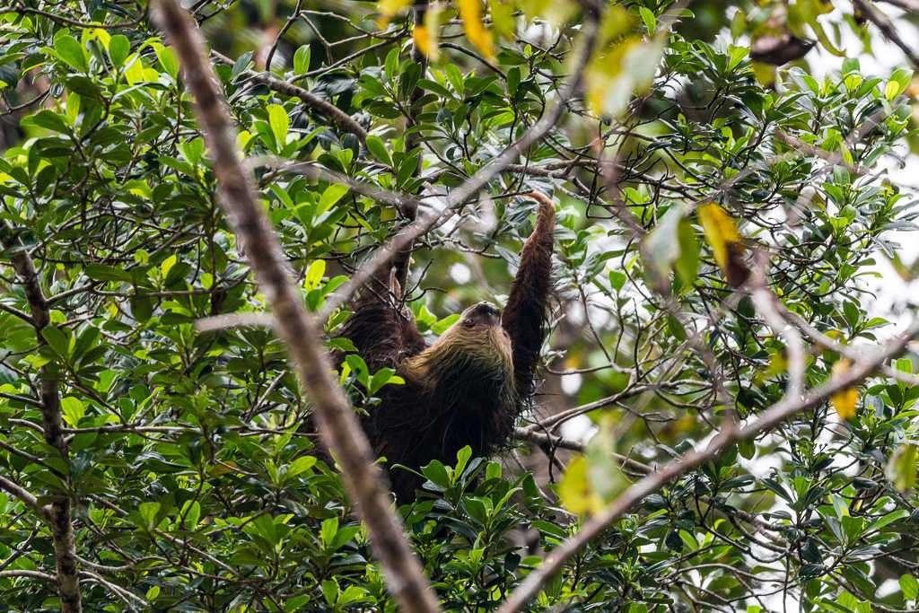 Perezoso en el parque nacional Tortuguero, Costa Rica