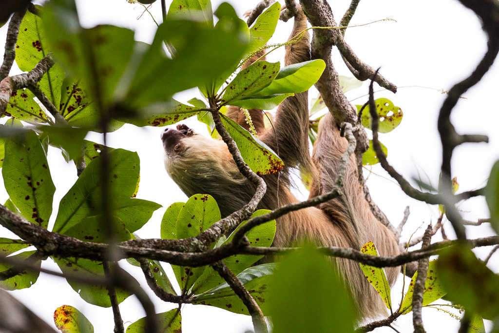 Perezoso pelo blanco, parque nacional Cahuita, Costa Rica