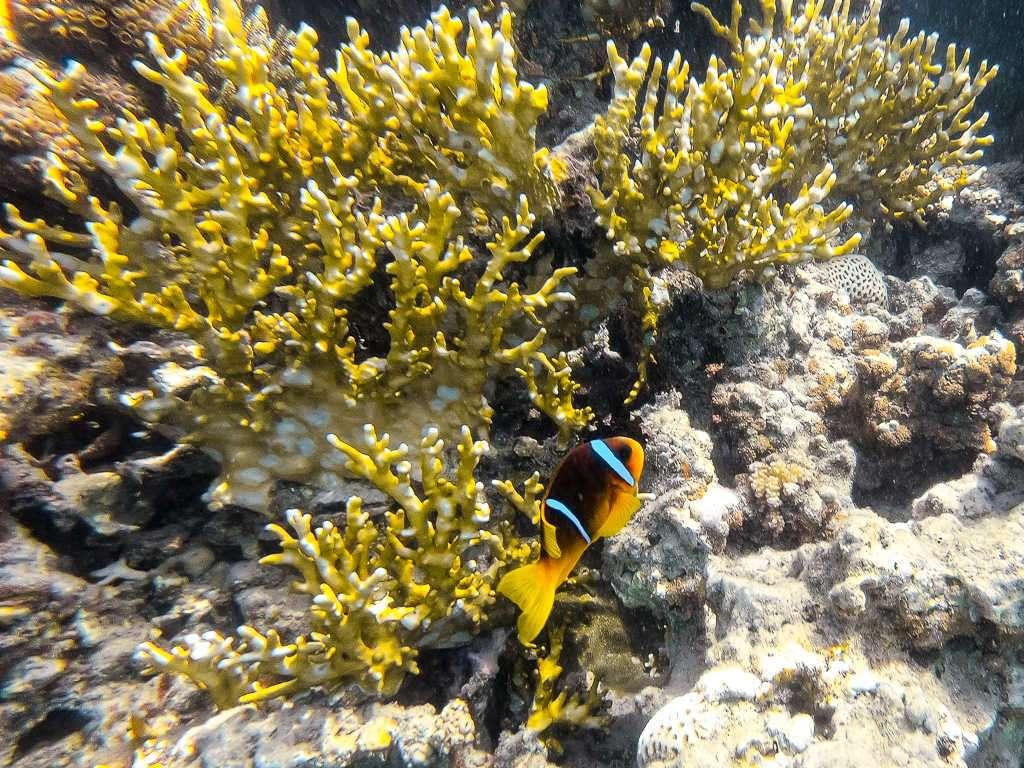 Pez payaso entre corales en el Japanese Garden en el mar Rojo, Aqaba, Jordania