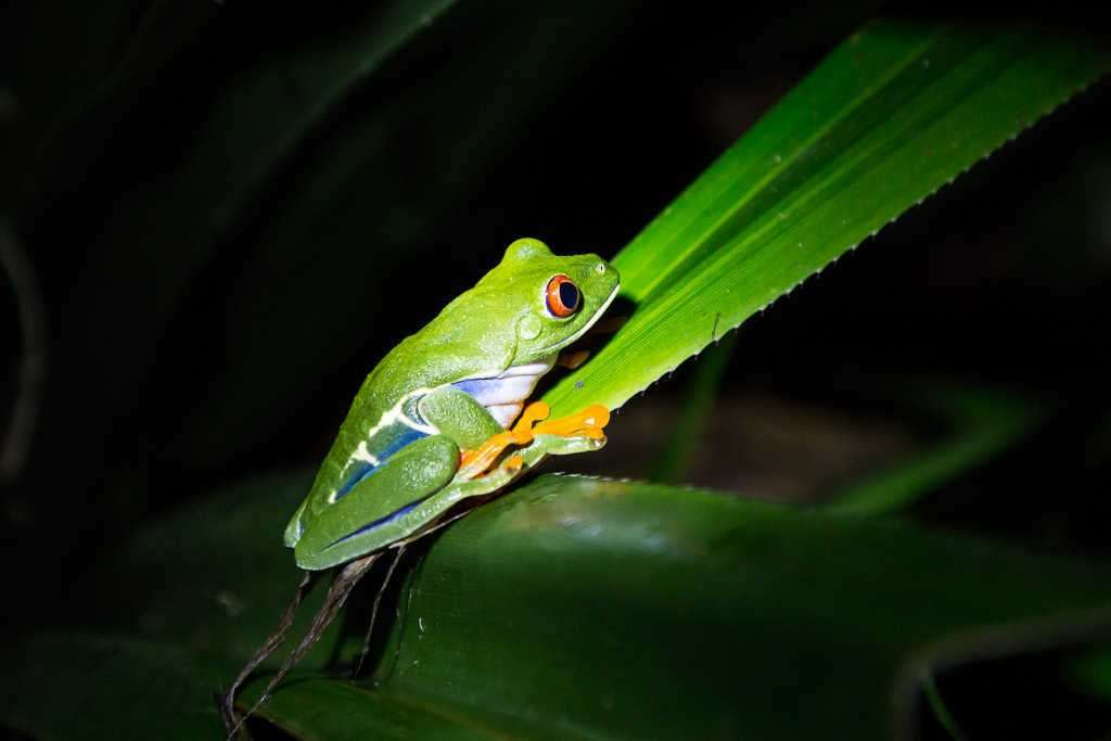 Rana de ojos rojos de noche en Tortuguero, Costa Rica