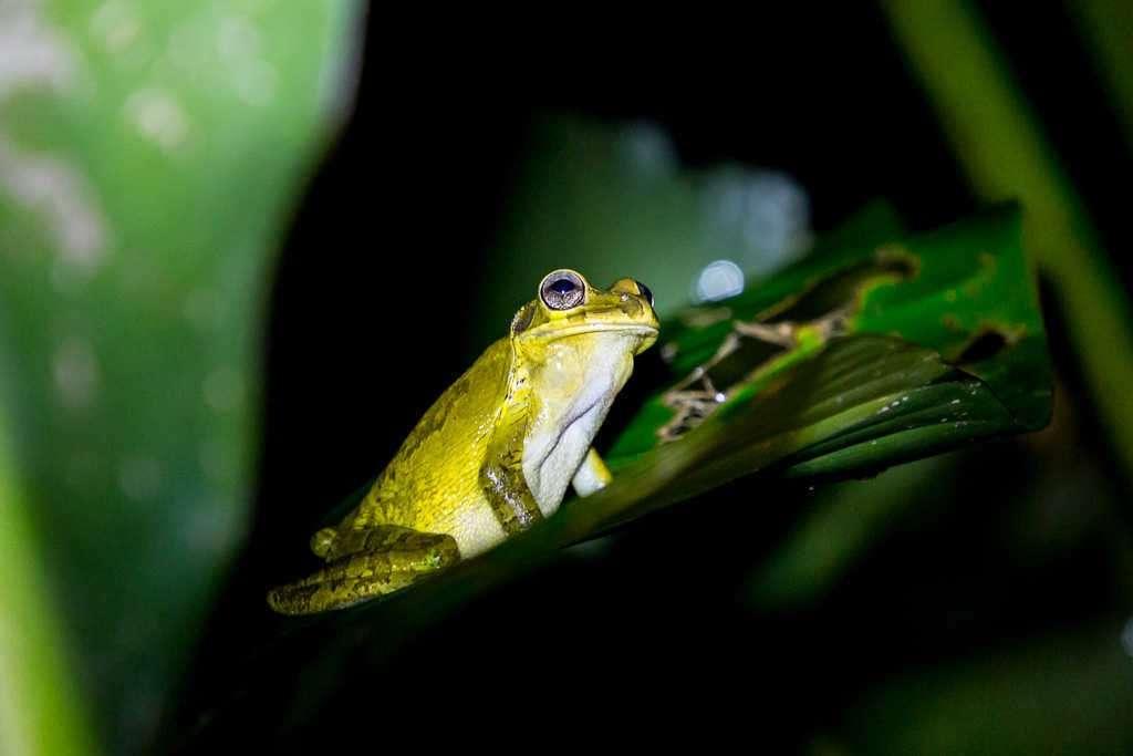 Rana de noche en Tortuguero, Costa Rica