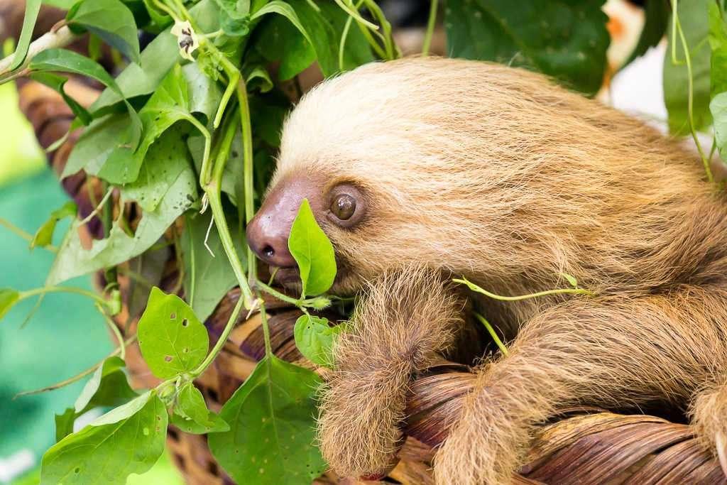 Cara de la cría de un perezoso en el Centro de Rescate Jaguar, Cahuita, Costa Rica