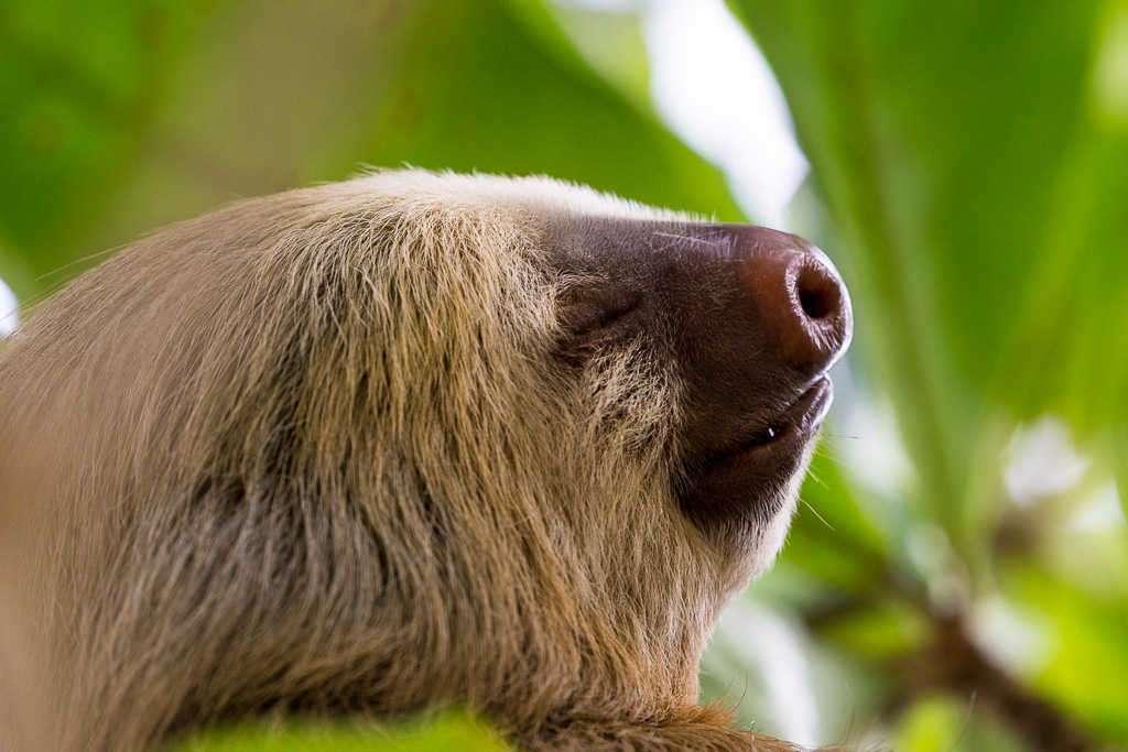 Cara de un perezoso cerca del hotel Kelly Creek, Cahuita, Costa Rica