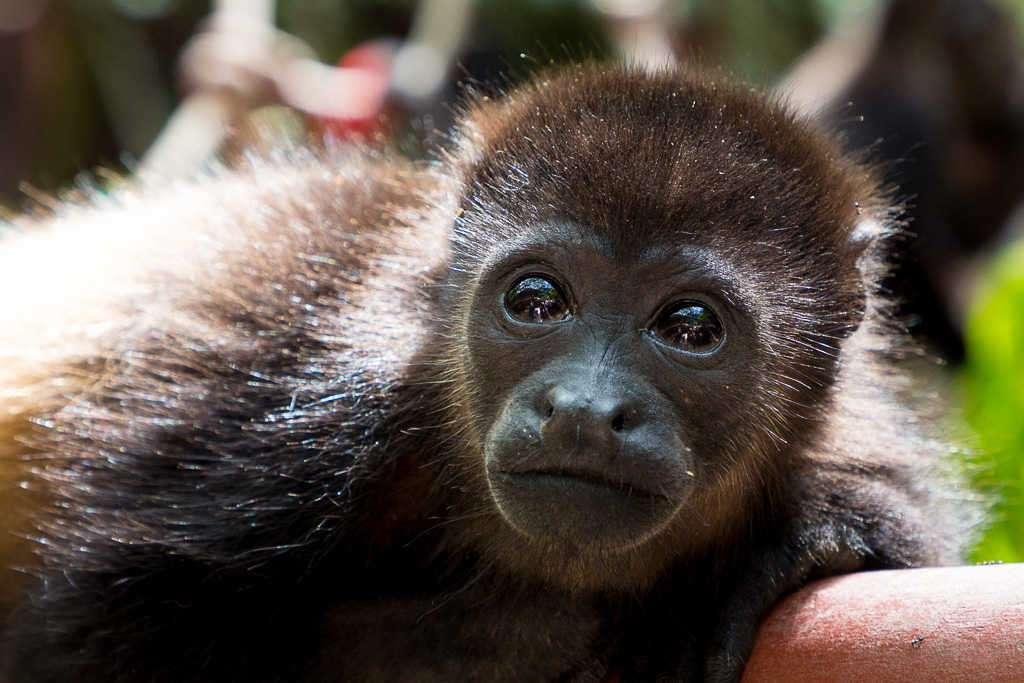 Cría de mono aullador en el Centro de Rescate Jaguar, Cahuita, Costa Rica