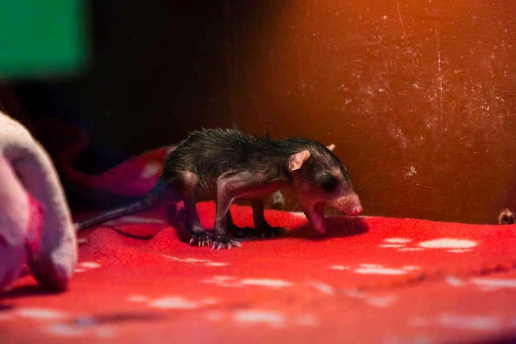 Cría de zarigüeya en una incubadora en el Centro de Rescate Jaguar, Cahuita, Costa Rica