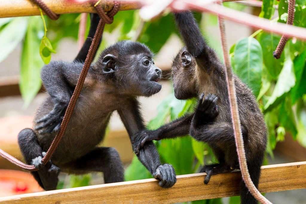Crías de mono aullador jugando en el Centro de Rescate Jaguar, Cahuita, Costa Rica