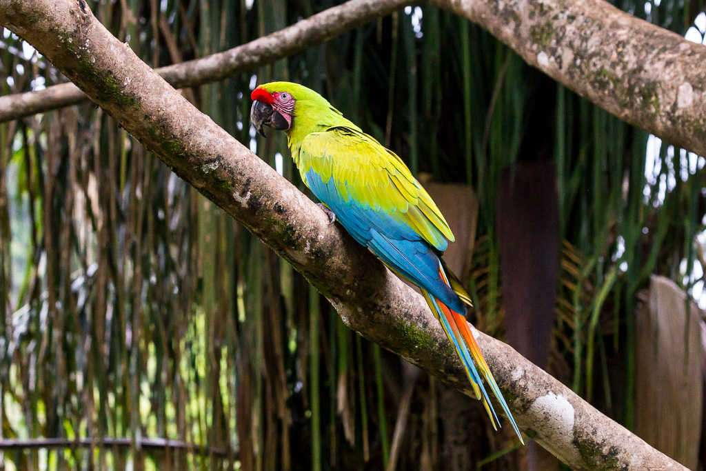 Guacamayo verde en una rama en el Proyecto Ara Manzanillo, Cahuita, Costa Rica