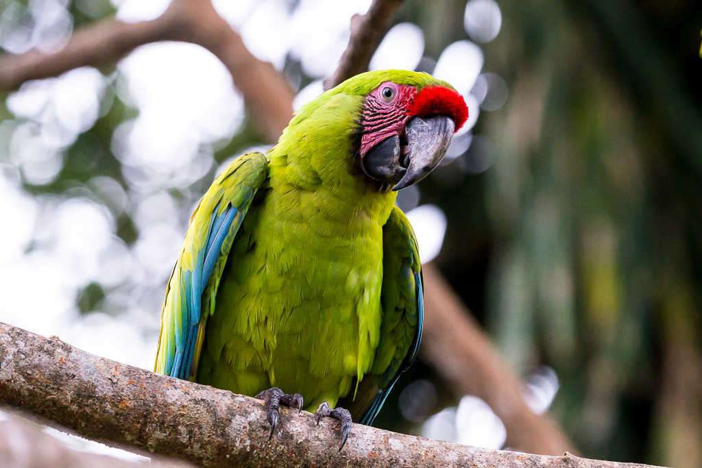 Guacamayo verde en el Proyecto Ara Manzanillo, Cahuita, Costa Rica