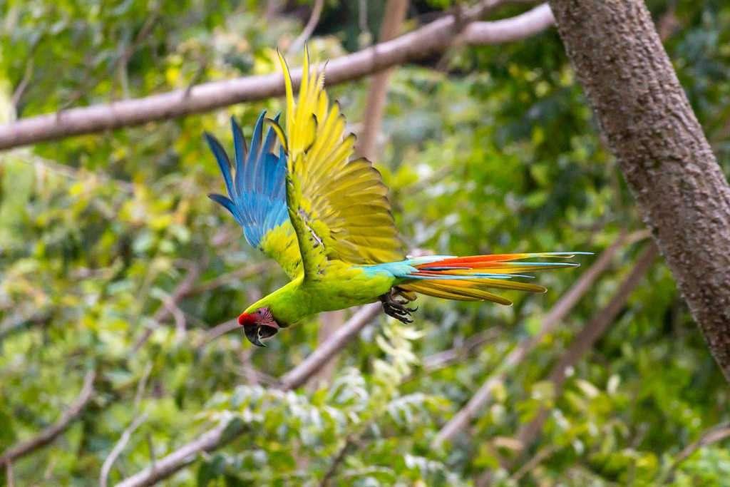 Guacamayo verde volando en el Proyecto Ara Manzanillo, Cahuita, Costa Rica