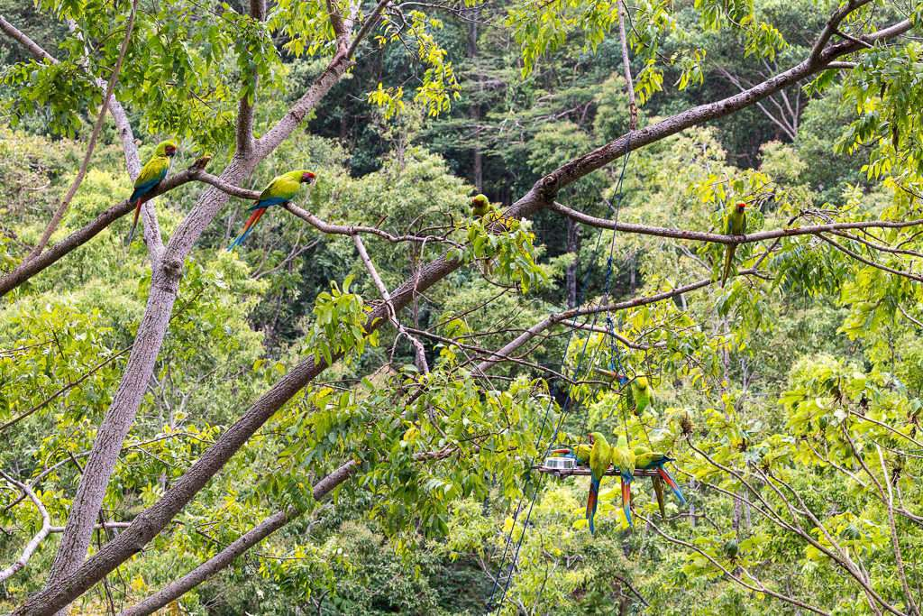 Guacamayos verdes en los árboles del Proyecto Ara Manzanillo, Cahuita, Costa Rica