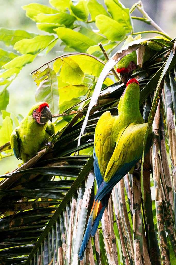 Guacamayos verdes en una palmera en el Proyecto Ara Manzanillo, Cahuita, Costa Rica