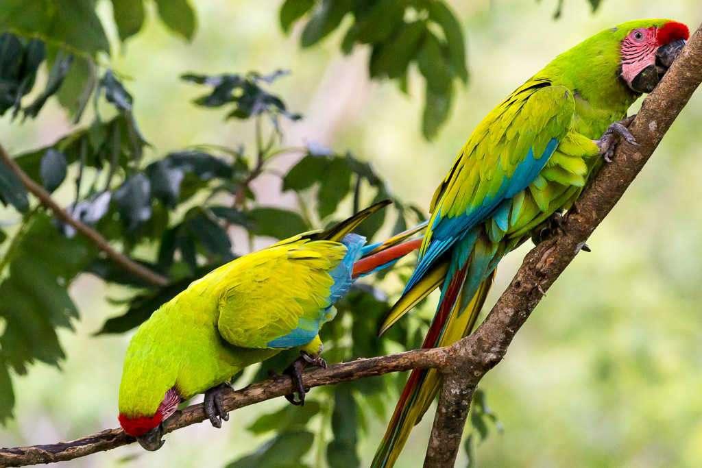 Guacamayos verdes en una rama en el Proyecto Ara Manzanillo, Cahuita, Costa Rica