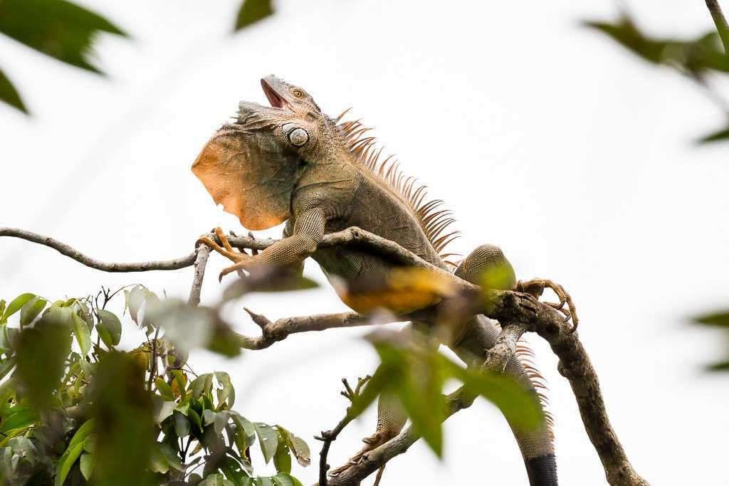 Iguana en el hotel Kelly Creek, Cahuita, Costa Rica