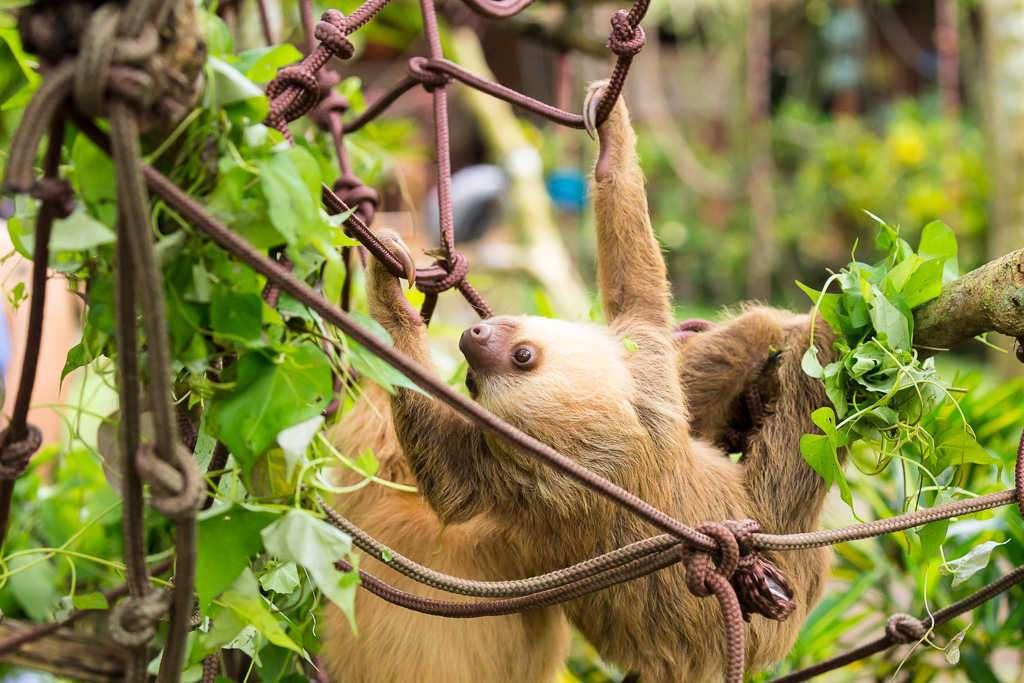 Perezoso colgado de cuerdas en el Centro de Rescate Jaguar, Cahuita, Costa Rica