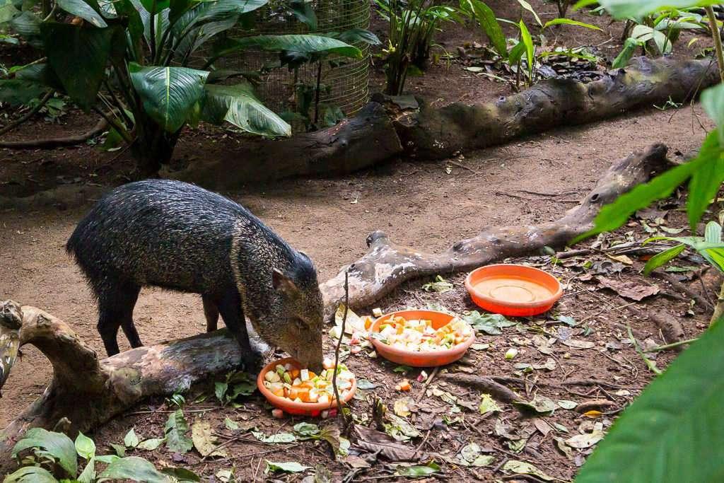 Tatabro en el Centro de Rescate Jaguar, Cahuita, Costa Rica