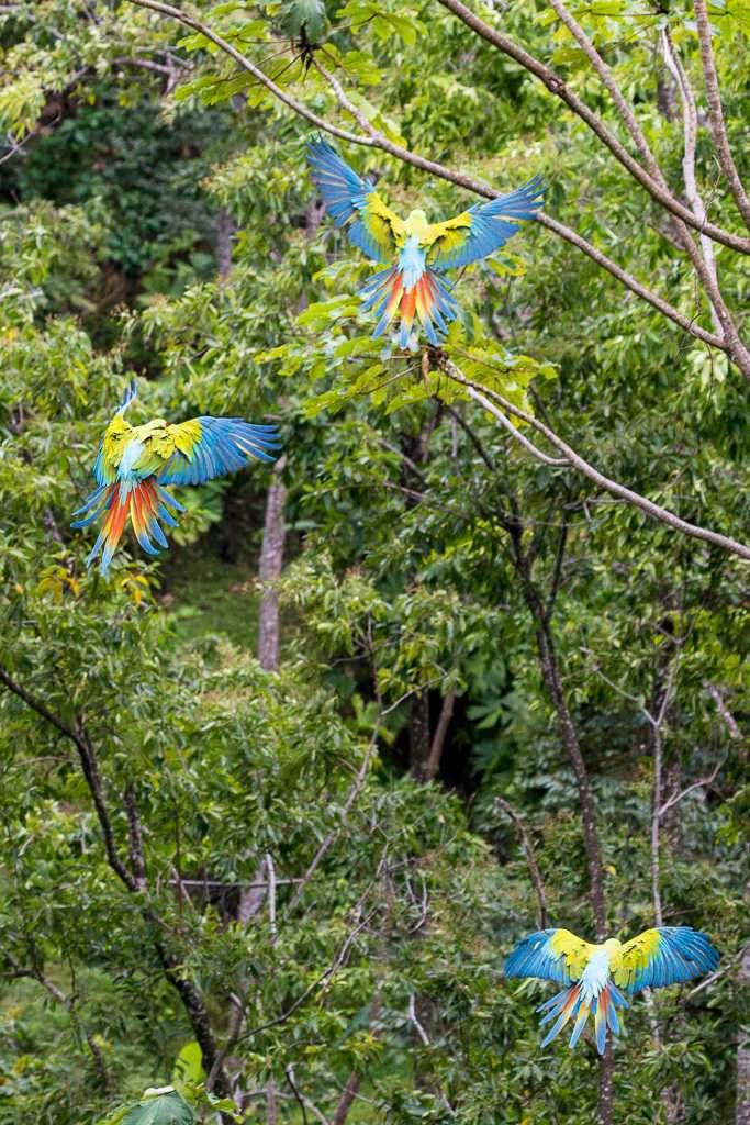 Guacamayos verdes volando en el Proyecto Ara Manzanillo, Cahuita, Costa Rica
