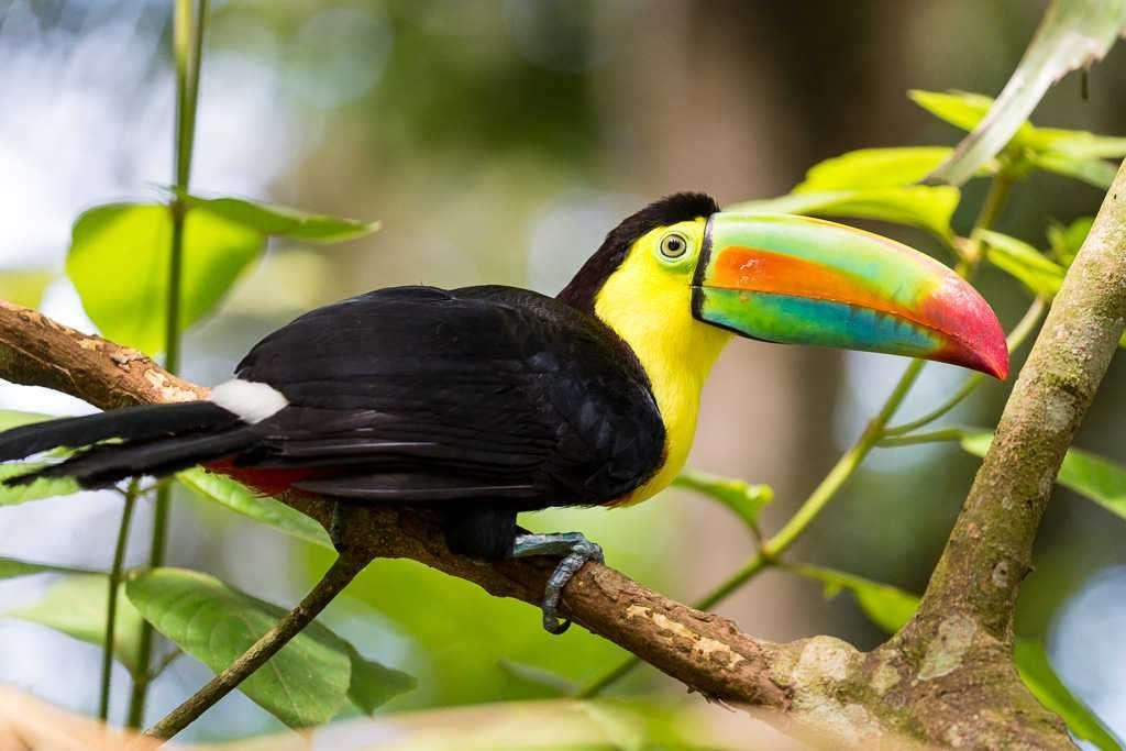 Tucán pico iris en el Centro de Rescate Jaguar, Cahuita, Costa Rica